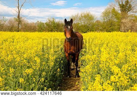 Brown Horse With Black Mane Stands In A Track In The Yellow Rapeseed Field