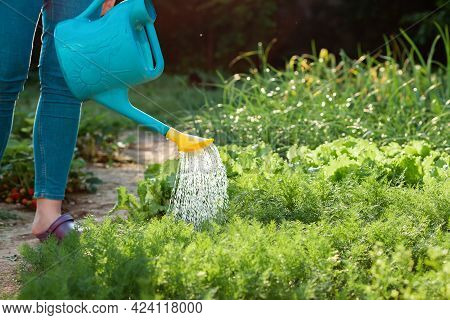 A Woman Watering With A Watering Can A Lettuce's Bushes And Herbs In Her Garden. Close Up. Summer Ga