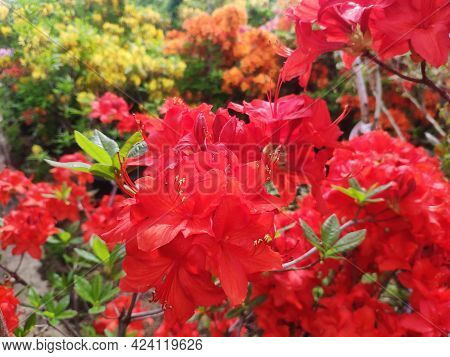 Beautiful Blooming Rhododendron. Flowers Background. Large Red Flowers In The Garden Close Up