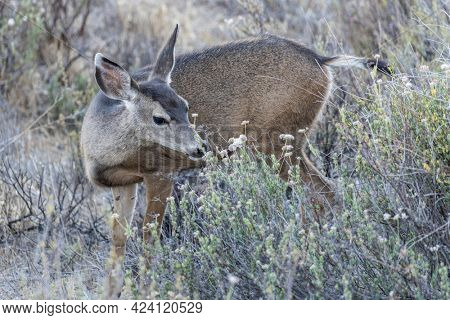 Mule Deer and wild flowers at Rocky Peak Park in the Santa Susana Mountains near Los Angeles and Simi Valley, California.