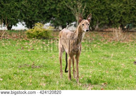 Beauiful Small Whippet Is Standing In The Garden