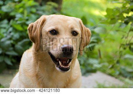Beautiful Yellow Labrador Retriever Head Portrait In The Garden