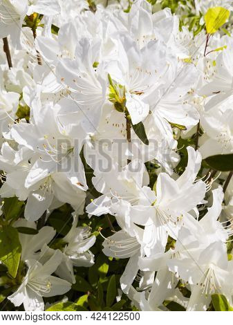 White Rhododendron Or White Azalea Flowers Blooming In Spring.