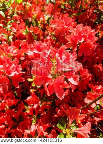 Beautiful Red Rhododendron Or Red Azalea Flowers Blooming In Spring.