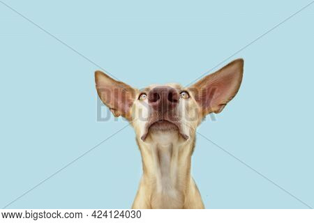 Attentive Hungry Dog Looking At Camera. Isolated On Blue Colored Background
