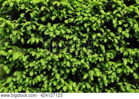 Spring In The Garden. Neatly Trimmed Conifer: Picea Abies 'nidiformis'. Spring Light Green Shoots.