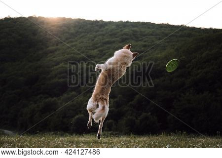 Half Breed White Swiss Shepherd Dog Jumps High Behind Flying Green Disk. Walking And Sports With Dog