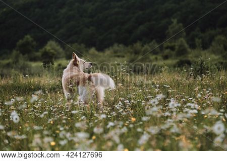 Half Breed White Swiss Shepherd Dog Stands In Green Chamomile Field And Stares Intently Ahead. Dog W