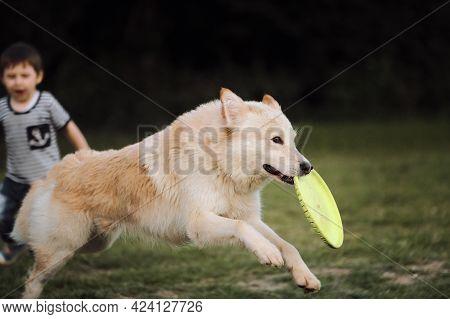 Boy Runs After The Dog. Half Breed White Swiss Shepherd Dog. Large White Fluffy Dog Runs Through Gre