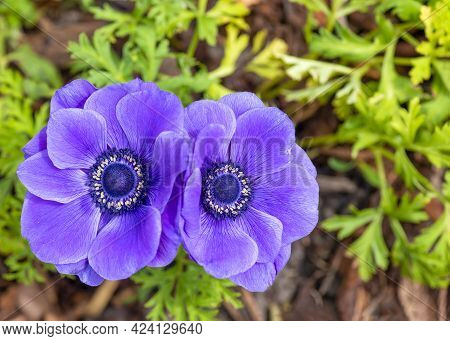 Pair Of Beauiful Puple Anemone Flowers , Ranunculaceae Family. Shot Close Detailed Pistil, Blurred B