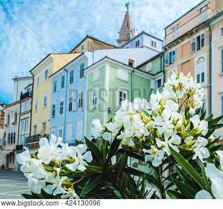 Beautiful White Flowers On The Background Of St. Georges Parish Church In Piran Town. Beautiful City