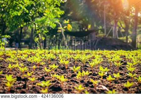 Young Plant In Rows. Organic Farm Field  Vegetables In A Row Sunlight Of Summer In The Background. A