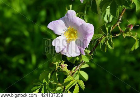 Dog Rose Plant Close Up In The Environment.