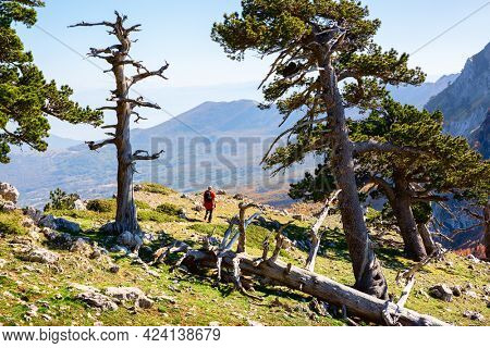 Bosnian pines on top of Serra di Crispo mountain (Garden of Gods), Pollino National Park, southern Apennine Mountains, Italy.