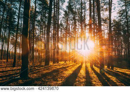 Beautiful Sunset Sunrise Sun Sunshine In Sunny Spring Coniferous Forest. Sunlight Sunbeams Through W