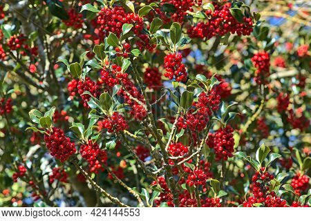Beautiful Bright Background Of Spring Red Berries Of Holly Tree (ilex) With Dark Green Leaves, Co. D