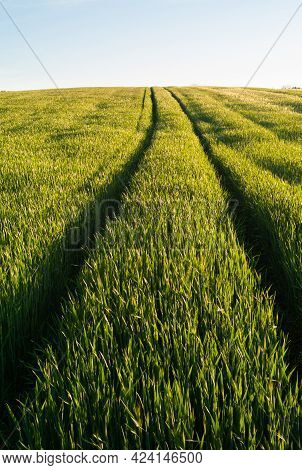 Tire Tracks In The A Lush, Green Wheat Field In Spring In The Mostviertel Or Must Quarter Region Of