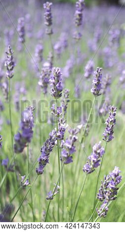 Lavender Flowers Blooming Which Have Purple Color And Good Fragrant