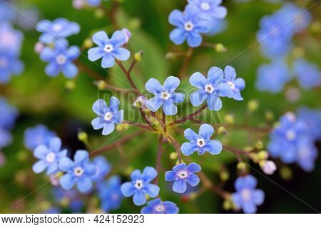 Forget-me-not Blue Flowers Blossoming In Spring Garden