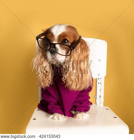 Cute Funny Dog Cavalier King Charles Spaniel Sits On Chair With Glasses And A Sweater. Pets