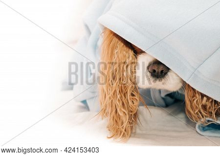 Cavalier King Charles Spaniel Dog Nose Sticking Out From Under The Hood, Pet Clothing Concept, Warm