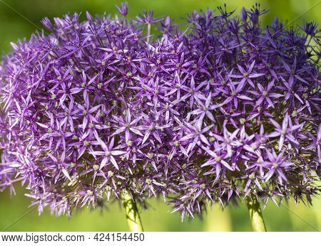 Purple Flowers Of The Alium Also Known As Snowball In A Garden