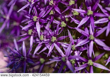 Close-up Purple Flowers Of The Alium Also Known As Snowball In A Garden Macro