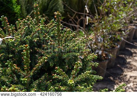 Sale Of Young Seedlings In The Garden Center. Evergreen Conifers For Use In The Garden Landscape.