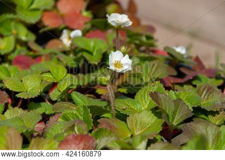 Horizontal Image Of A Blooming Strawberry. Berry Flowers In The Garden. Harvest Concept. Summer Back