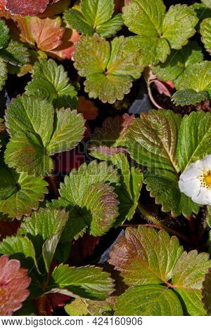 Vertical Image Of A Blooming Strawberry. Berry Flowers In The Garden. Harvest Concept. Summer Backgr