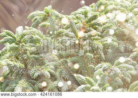 Fluffy Tree Branches Texture Background For Christmas Card.