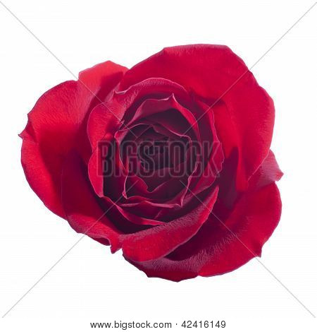 Single Rose Isolated On White