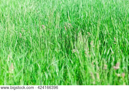 Green Grass Background . Uncultivated Meadow In The Summer
