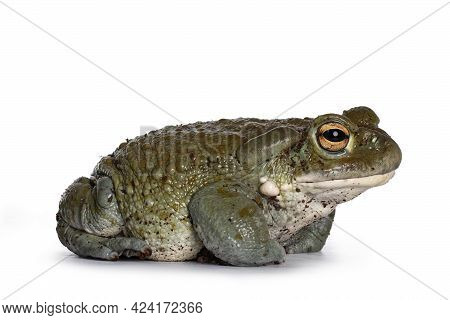 Bufo Alvarius Aka Colorado River Toad, Sitting Side Ways. Looking Ahead With Golden Eyes. Isolated O