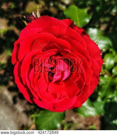 One Red Rose Flower On A Warm Sunny Summer Day