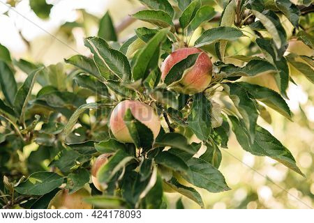 Red Apples On A Tree In The Garden. Apple Harvest. Copy Space Organic Apple In The Orchard. Harvest