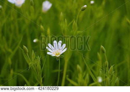 Starfish Stellaria Is A Genus Of Flowering Plants Of The Clove Family That Is Widespread Throughout