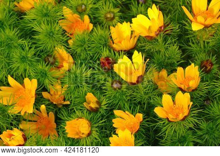 Adonis Is A Perennial Herb, A Species Of The Genus Adonis Of The Buttercup Family. Perennial Herb. S