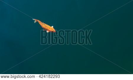The Beautiful Koi Carp Fish Swimming In Blue River. Colorful Golden Carps
