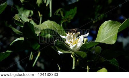 Bee On Orange Blossom Collects Nectar. Bees On Tree Flower