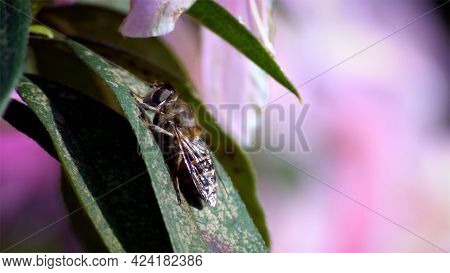Macro Insects. Wonderful Close-up Bee On Leaf Under Bright Sun