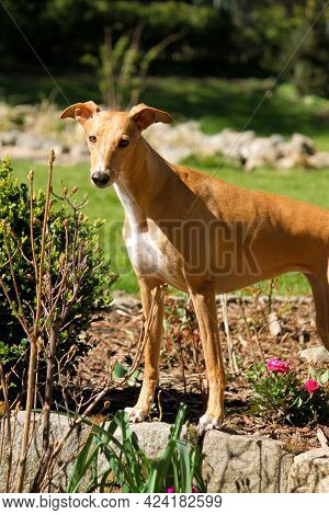 Beautiful Small Whippet Is Standing In The Garden