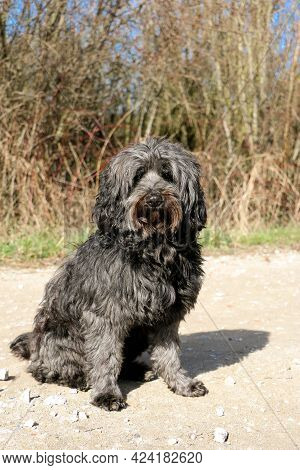 Black Tibet Terrier Is Sitting On A Sandy Way In The Forest