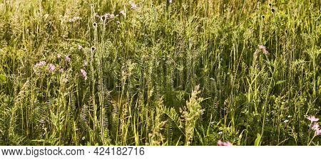Floral Natural Panoramic Banner. Various Wild Flowers And Herbs In The Meadow. Nature Background. Su