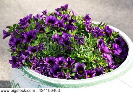 A Flower Pot Full Of Grape Million Bells Flowers