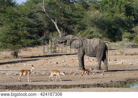 African Elephant (loxodonta Africana) Drinking Water With 3 Impala Walking By Shows Perspective In K