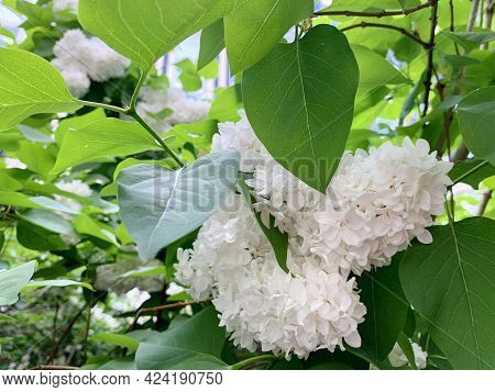 A Branch Of White Lilac, Large Flowers, Among Green Leaves, Spring, Flowering