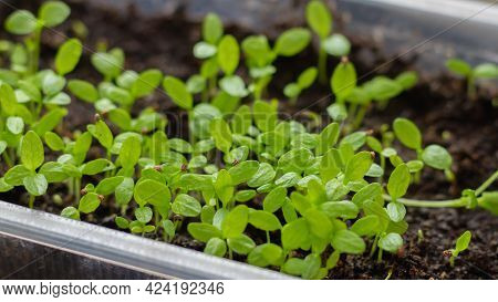 Sprouts With Green Leaves Appeared From Seeds, Many Small Plants In A Container With Earth.