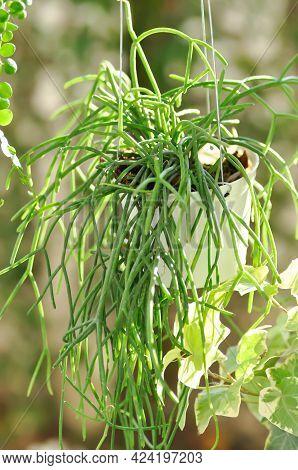 Rhipsalis, Rhipsalis Baccifera And Dischidia Nummularia Variegatege Plant