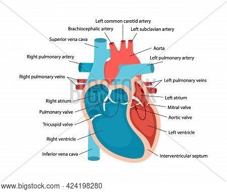 Heart Anatomy Close-up With Descriptions. Educational Diagram With Human Heart Cross-section Illustr